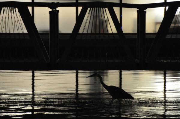 A grey heron in London