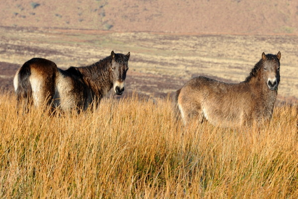 Two Exmoor ponies watch me as I stalk them