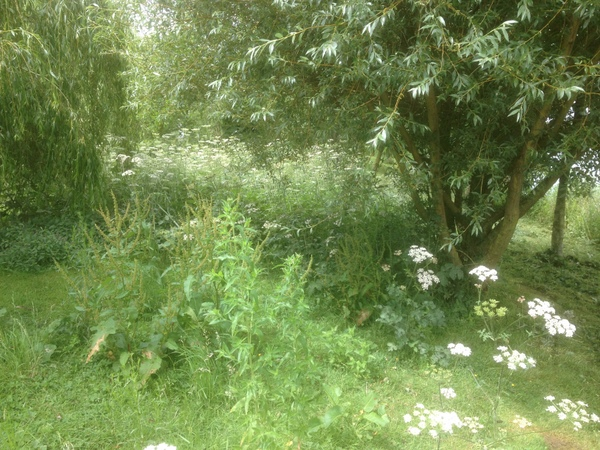 Waist high cow parsley on Meadows marina island