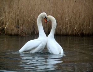 Mating Swans