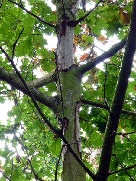 onic oak dieback symptoms