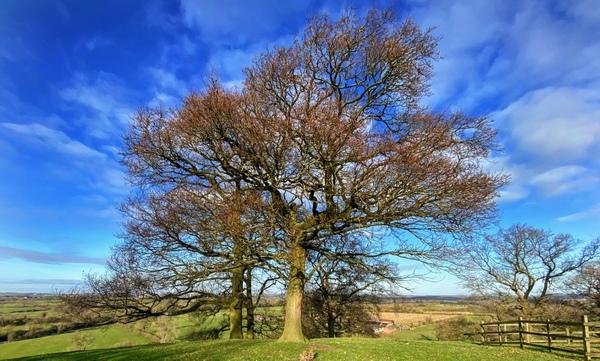 The Cracks Hill oak tree where I proposed