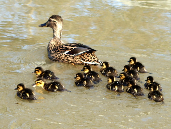 A doting mother mallard with her thirteen chicks