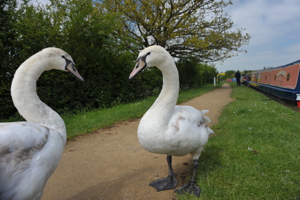 A pair of gentle swans at Hillmorton Bottom Lock