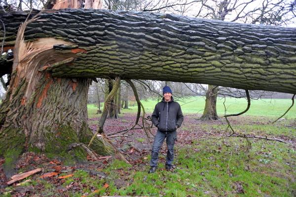 A giant felled oak in a field next to the Watford flight