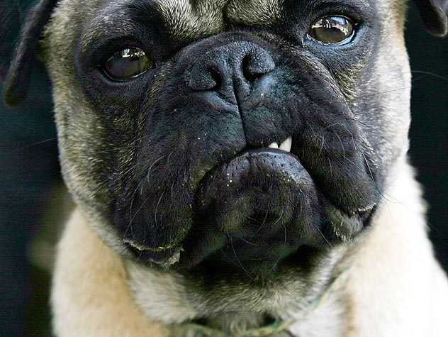 An aggressive pug - The one I met this week wasn't quite so cute.