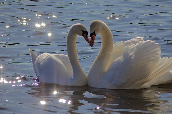 Swans aren't always agressive